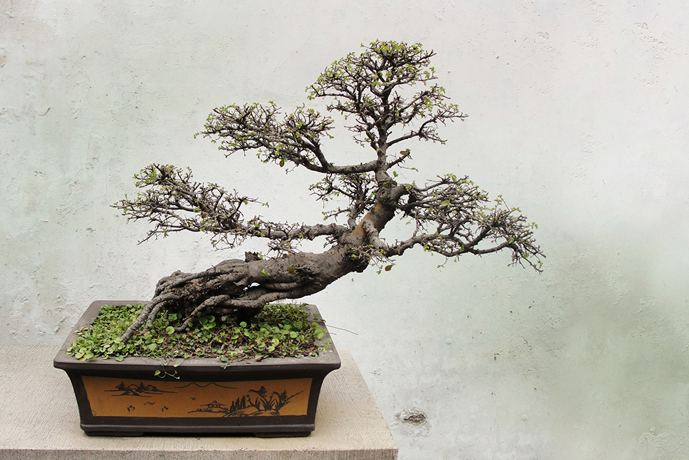 Bonsai Expo, December 6 and 7