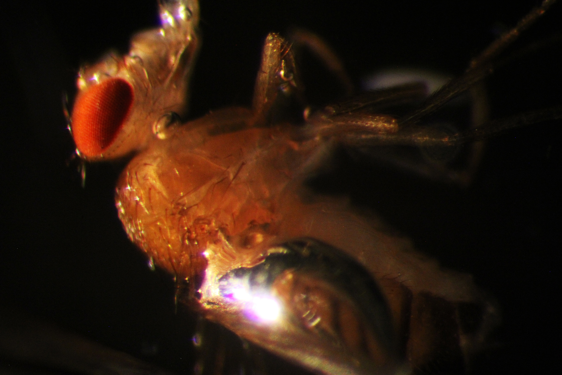 a close-up of a fruit fly under a dissecting microscope